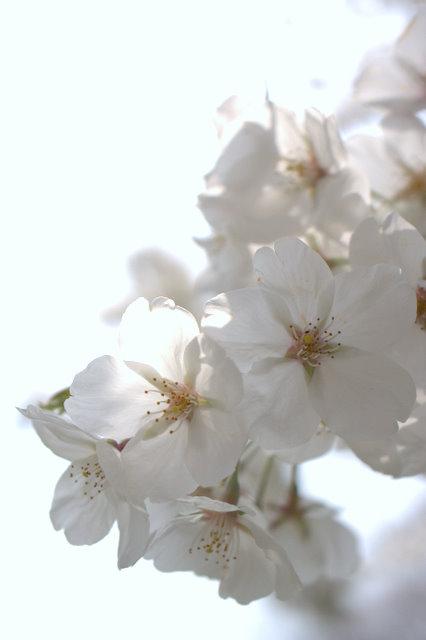 桜の花に寄ってみる